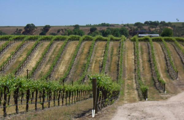 vineyard_15