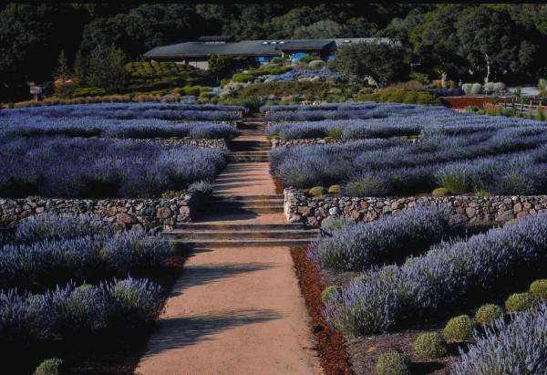 Matanzas-Creek-Lavender-1024x702