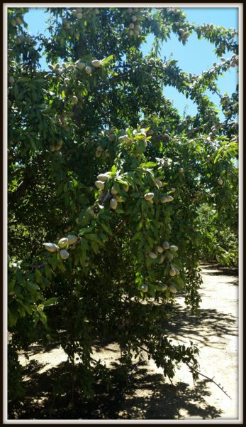 Almond-Trees