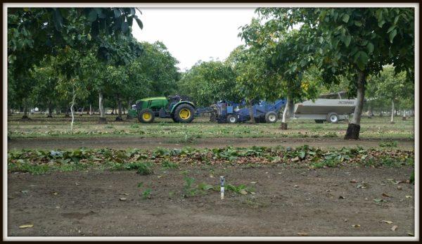 walnut_harvesting
