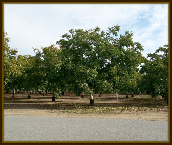 walnut_trees