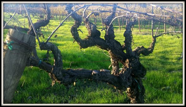 Old-Pinot-Noir-Vines