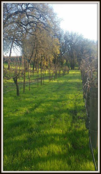 Old-Vine-Pinot-Noir